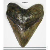 "Megalodon Tooth 5-1/2"" complete good condition"